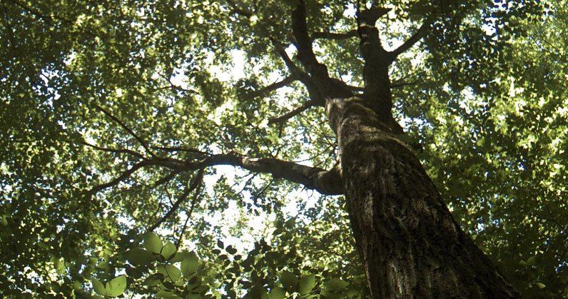 Проверяват дърветата в Морската градина с резистограф